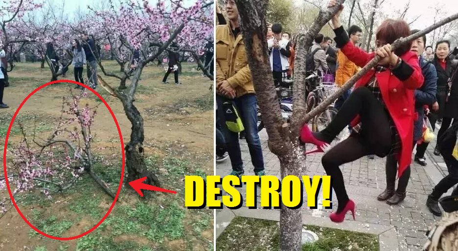 Chinese People Destroy Cherry Blossom Trees Just To Take The Perfect Selfie - World Of Buzz 1
