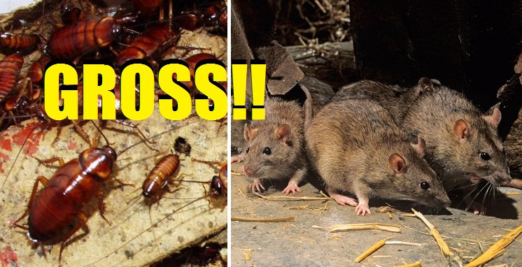 Careful Where You Eat in KL, Rat Poop and Cockroach Eggs found in 23 Restaurants - World Of Buzz