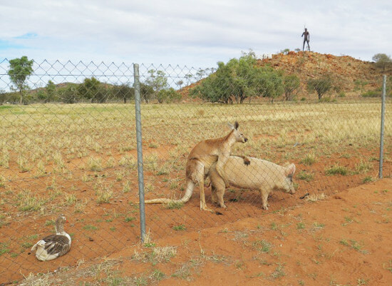 Researcher Stumbles Upon a Kangaroo and a Pig...Getting Hot and Heavy??? - World Of Buzz 1