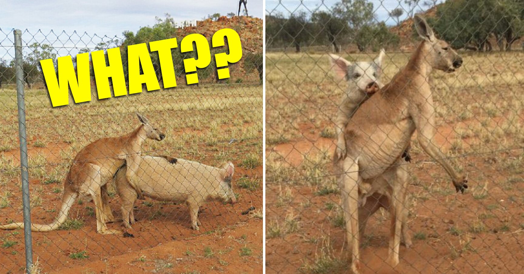 Researcher Stumbles Upon a Kangaroo and a Pig...Getting Hot and Heavy??? - World Of Buzz 3