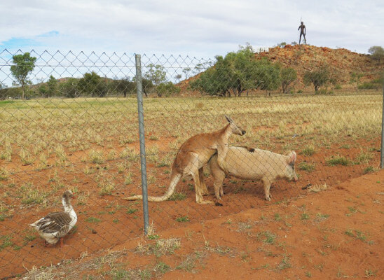 Researcher Stumbles Upon a Kangaroo and a Pig...Getting Hot and Heavy??? - World Of Buzz