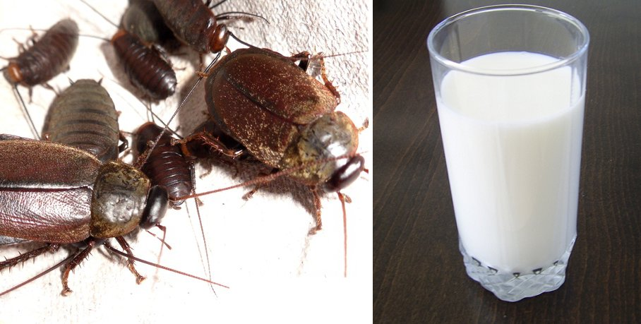 Cockroach Milk Is SO Rich in Protein, Could Potentially Be The Next Superfood - World Of Buzz 1