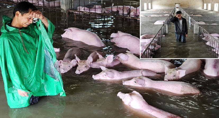 Distraught Farmer Tearfully Bids Farewell To His 6000 Pigs As Floodwaters Rise - World Of Buzz