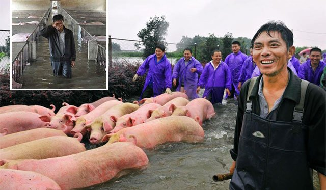 Remember the Distraught Farmer and His Trapped Pigs? Well, He Rescued Them For Their Bacon! - World Of Buzz