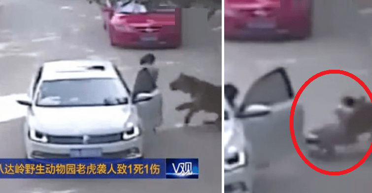Video Captures Horrifying Moment When Tiger Drags Woman Away Before Mauling Her To Death - World Of Buzz