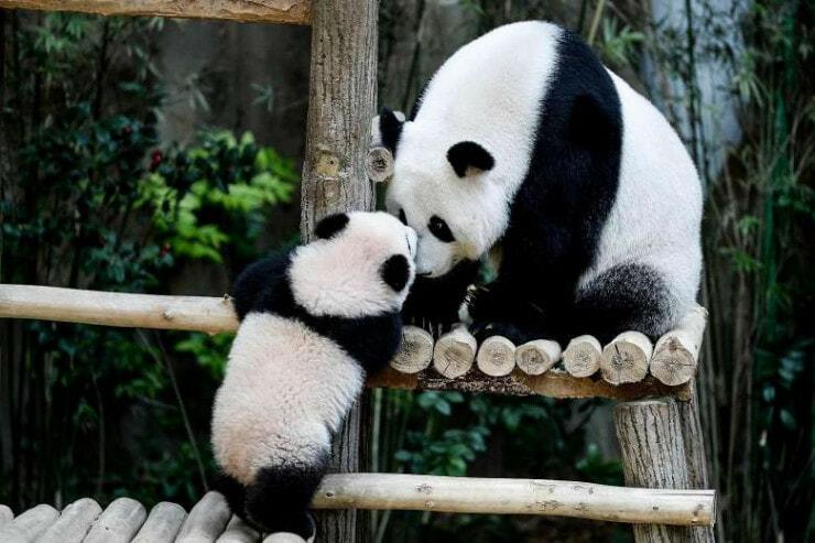 "Say ""bye Bye"" To Beloved Panda At Zoo Negara As Nuan Nuan May Be Going Back China Next Year - World Of Buzz 1"