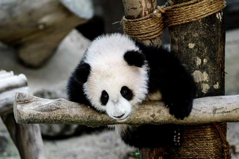 "Say ""Bye Bye"" to Beloved Panda At Zoo Negara As Nuan Nuan May Be Going Back China Next Year - World Of Buzz"
