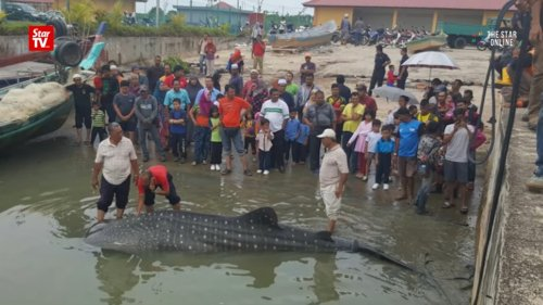A Whale Shark at the Shores of Malacca?! - World Of Buzz 2