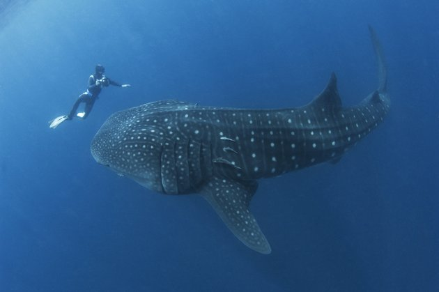 A Whale Shark at the Shores of Malacca?! - World Of Buzz 3