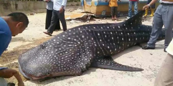 A Whale Shark at the Shores of Malacca?! - World Of Buzz 4