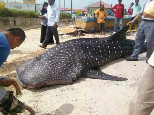A Whale Shark at the Shores of Malacca?! - World Of Buzz