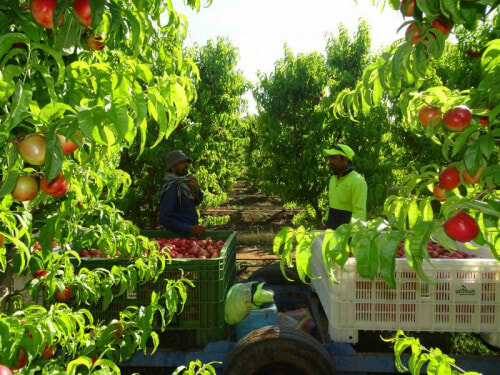 Australian Farms Use Illegal Immigrant Workers, Many Malaysians Usually Hired - World Of Buzz 3