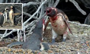 Penguin Comes Home To Find Wife Cheating With Another Male, Starts Bloodbath - World Of Buzz