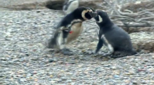 Penguin Comes Home To Find Wife With Another Male, Engages in Bloody Battle - World Of Buzz 1
