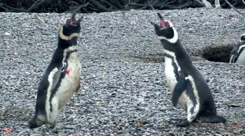 Penguin Comes Home To Find Wife With Another Male, Engages in Bloody Battle - World Of Buzz 2