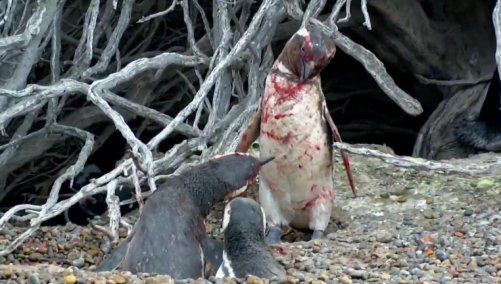 Penguin Comes Home To Find Wife With Another Male, Engages in Bloody Battle - World Of Buzz 5
