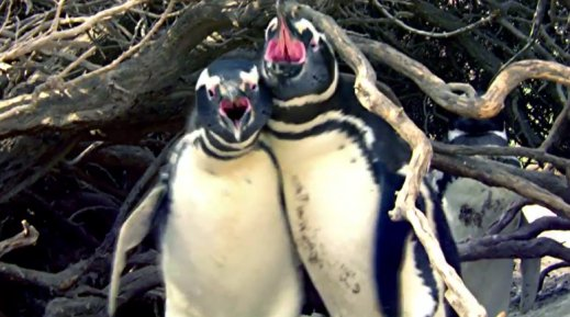 Penguin Comes Home To Find Wife With Another Male, Engages in Bloody Battle - World Of Buzz