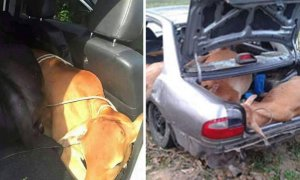 Malaysian Thieves Tries To Steal Two Cows By Shoving Them Into Perodua Car! - World Of Buzz