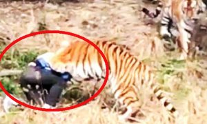 Chinese Man Horrifyingly Mauled to Death by Tiger in Zoo in Hour-Long Attack - World Of Buzz 3