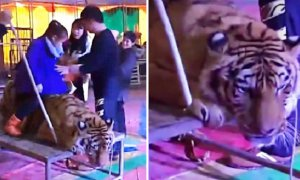 Circus Tiger brutally tied down and abused by heartless staff. - World Of Buzz 5