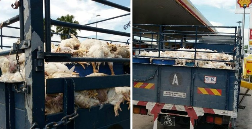 Malaysian Lorry Carrying Dead Chickens, Allegedly Sold For RM 2 Per Bird - World Of Buzz