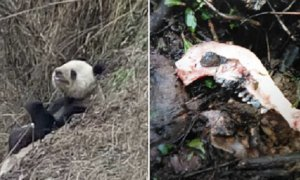 Chinese Villagers Were Shocked To Witness A Panda Savagely Devouring A Goat - World Of Buzz