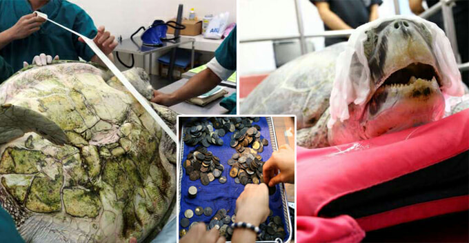 Surgeons Remove 951 Coins From Turtle's Stomach, After Years Of Swallowing Coins Thrown In Pool - World Of Buzz