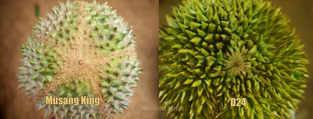 Tips in Identifying Musang King - World Of Buzz 5