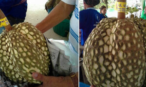 Thai Farmer Sells 'Thornless Durians', Netizens Have no Idea What to Think - World Of Buzz 3