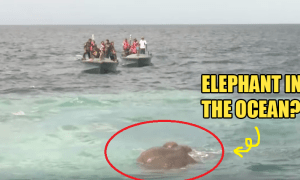 Elephant Swept Away and Stranded in The Ocean, Navy Rescues it - World Of Buzz