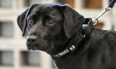 Bomb-Sniffing Labrador Fired After Feeling 'Meh' About Finding Explosives, Now Living Happy Life - WORLD OF BUZZ