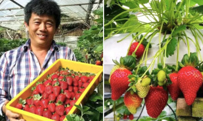 Farmer Plays Music to Strawberries in Cameron Highland, Fruits Are Sweeter and Bigger - WORLD OF BUZZ