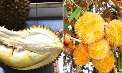This Hybrid Durian Tastes As Good As Musang King, And Can Be Harvested Twice A Year - World Of Buzz