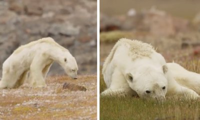 Viral Video Shows Heartbreaking Sight of Emaciated Polar Bear Slowly Dying of Starvation - WORLD OF BUZZ 2