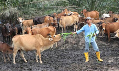 This M'sian Quits School After Standard 6, Now He's A Millionaire Farming Cows - World Of Buzz