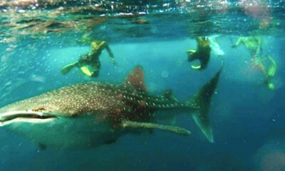 Tourists in Sabah Swim and Take Pictures with Whale Shark in a Rare Scene - WORLD OF BUZZ