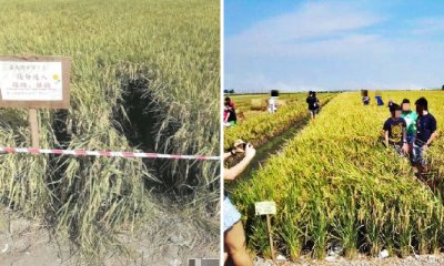 Inconsiderate Tourists in Sekinchan Are Destroying Paddy Fields Just to Take Nice Photos - WORLD OF BUZZ 4