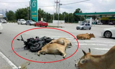 49yo Man in Coma After Being Trampled On By 30 Cows While OTW to Lunch in Terengganu - WORLD OF BUZZ 3