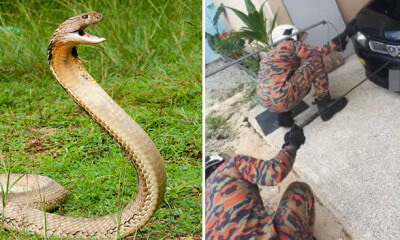 King Cobra Sneaks Into Man's Car Bonnet in Selangor Due to Rainy Season - WORLD OF BUZZ 1