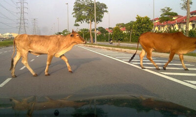 Owners Will Be Fined Up To RM250 For Letting Their Livestock Roam Freely On Road - WORLD OF BUZZ 1