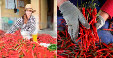 Single Mother Quits Her Day Job to Plant Chillis, Gets RM30,000 For Her First Harvest - WORLD OF BUZZ