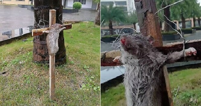 Chinese Student Crucifies Rat For Eating His Pet Turtle - WORLD OF BUZZ 3