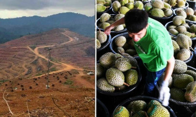 Kelantan's Been Destroying Orang Asli Lands For Durian Exports To China - WORLD OF BUZZ 4
