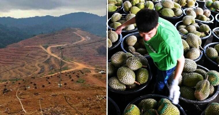 Kelantan's Been Destroying Orang Asli Lands For Durian Exports To China - WORLD OF BUZZ 4