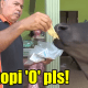 Tired Of Grass, Tam The Cow Enjoys 'Roti Canai', Biscuits And Coffee 'O' - WORLD OF BUZZ 5