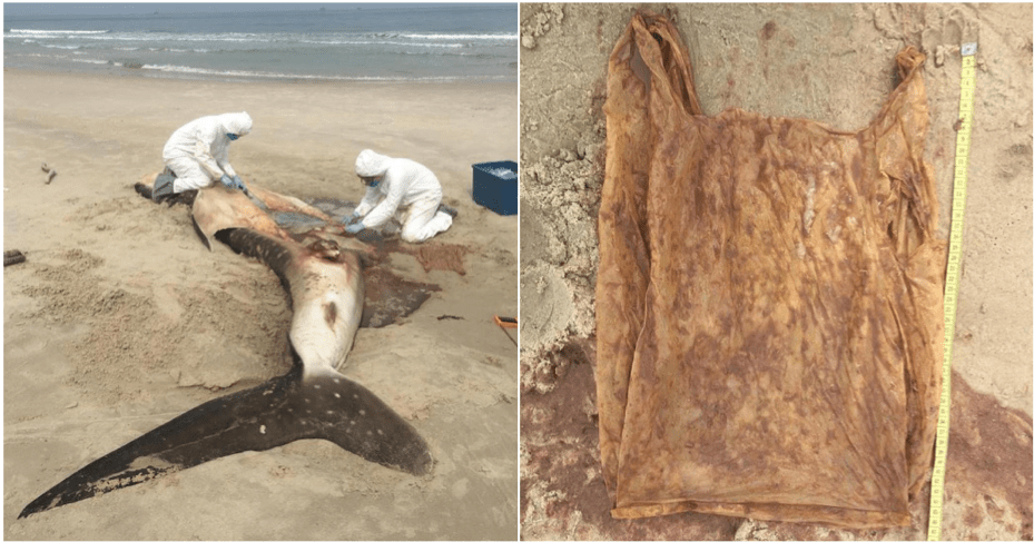 Dead Whale Shark Washed On Sabah Shores Reveals Grim Reality - WORLD OF BUZZ 6