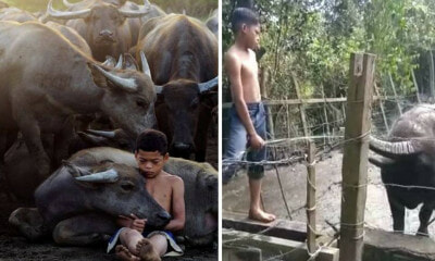 'Malaysian Mowgli' Saddened After His Favourite Buffalo Was Slaughtered This Morning - WORLD OF BUZZ 2