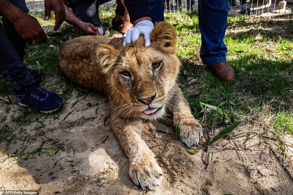 Zoo Receives Backlash For Declawing Lion Cub So Visitors Can Play With It - WORLD OF BUZZ