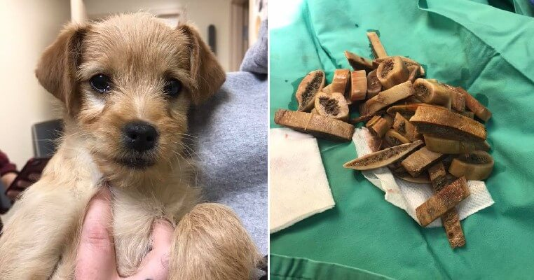 3-Month-Old Puppy Dies After Vet Removes Almost 50 Undigested Bones From His Stomach - WORLD OF BUZZ 2