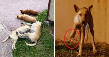 Dog And Her 5 Puppies In Sabah Killed After Being Given Food Mixed With Poison - WORLD OF BUZZ 5